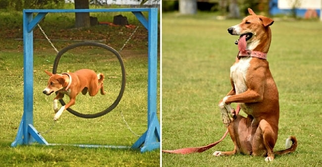 Indian Pariah dog agility training