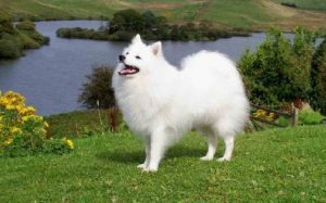 Japanese Spitz history, behavior, and training