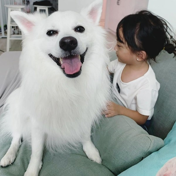 Japanese Spitz and a baby