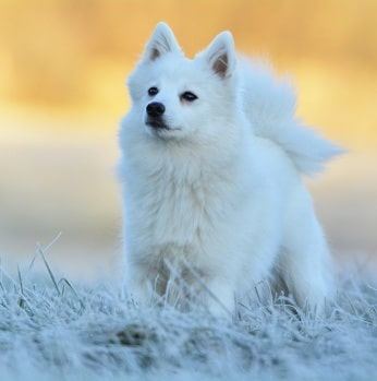 Japanese Spitz on the field
