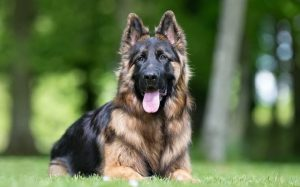 King Shepherd history, behavior, training
