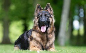 King Shepherd history, behavior, training