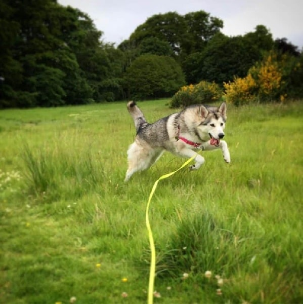 Nortehrn Inuit running on the field