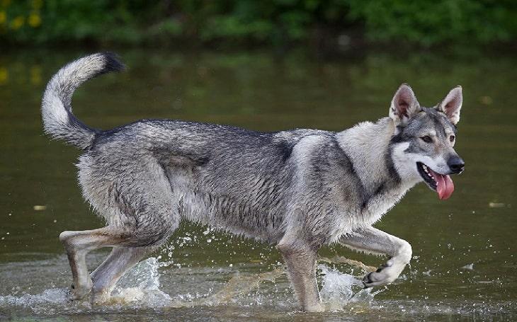 Northern Inuit origin, behavior, training