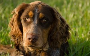 Picardy Spaniel Personality and temperament