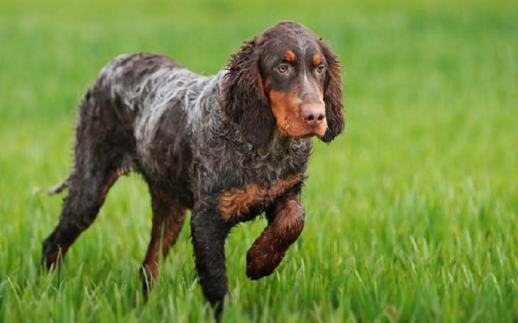 Picardy Spaniel history, behavior, and training