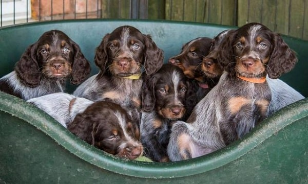 Picardy Spaniel Puppies