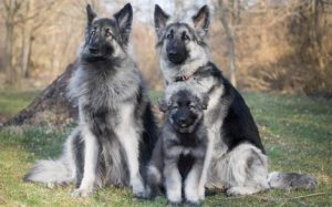 Shiloh Shepherd personality and temperament