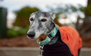 Spanish Greyhound origin, behavior, and training