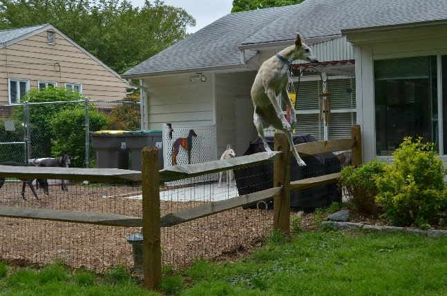 Spanish Greyhound jumping over the fence