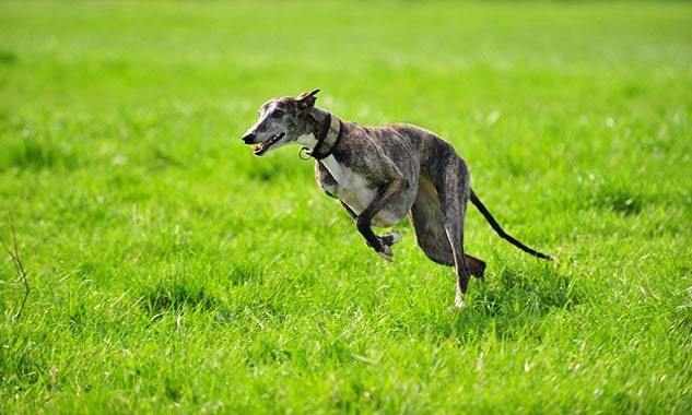 Spanish Greyhound running in the field