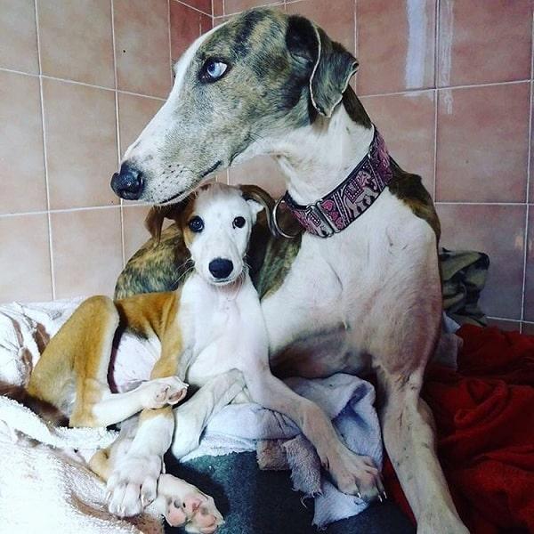 Spanish Greyhound with its puppy