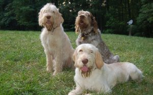 Spinone Italiano personality and temperament