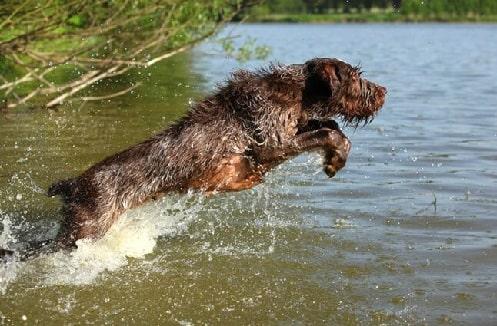 Spinone Italiano running in the water