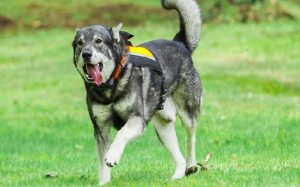 Swedish Elkhound history, behavior. and training
