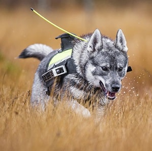 Swedish Elkhound running on the field