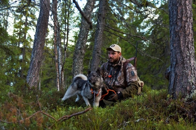 Swedish Elkhound with its master on the hunt