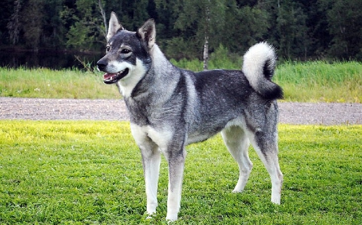Swedish Elkhound personality and temperament