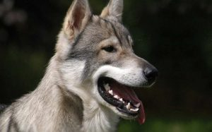 Tamaskan Dog history, behavior, and facts