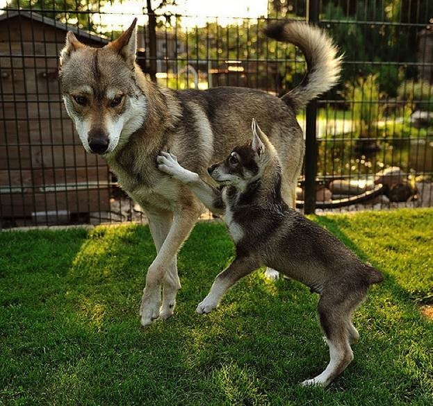 Tamaskan Dog playing with its puppy