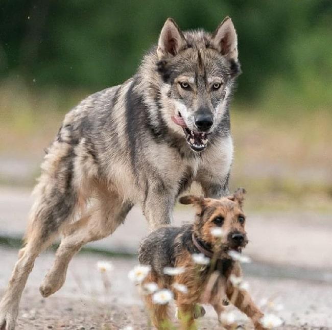 Tamaskan dog playing with a dog