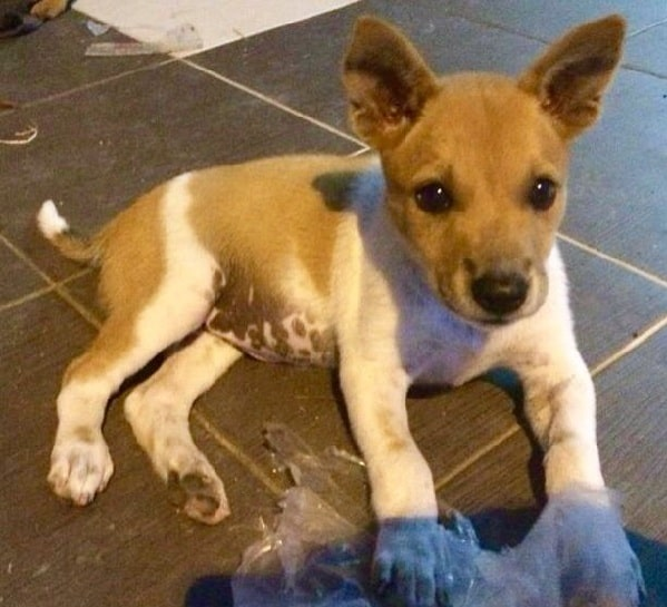 Telomian Dog puppy