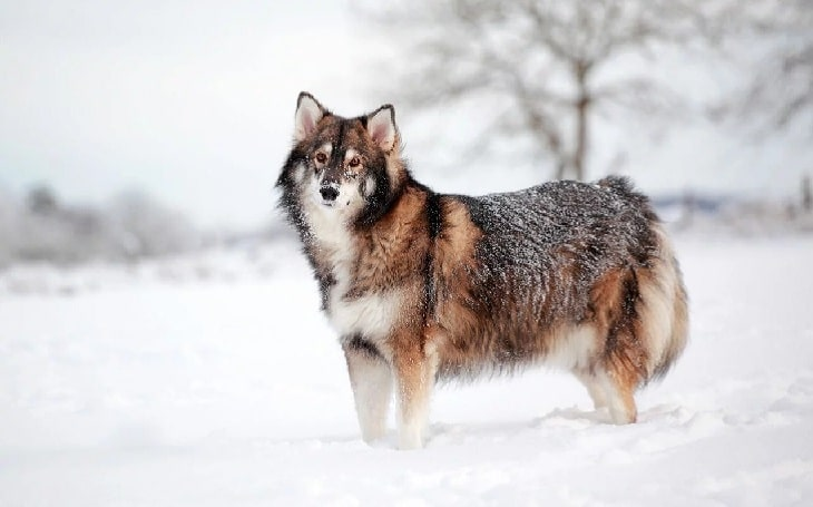 Utonagan Dog Breed personality and temperament