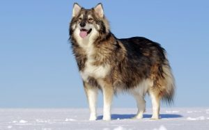 Utonagan Dog origin and behavior