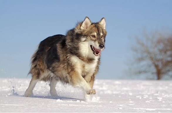 Utonagan Dog running in the snow