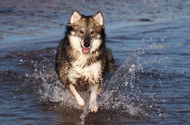 Utonagan Dog running on the water