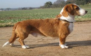 Westphalian Dachsbracke personality and temperament