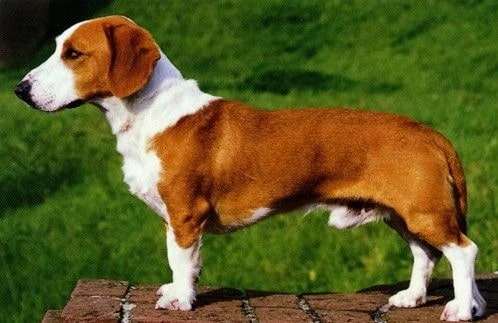 Westphalian Dachsbracke dog