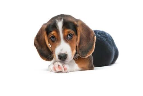 Westphalian Dachsbracke puppy