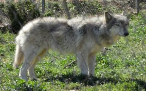 Wolf Dog temperament and personality
