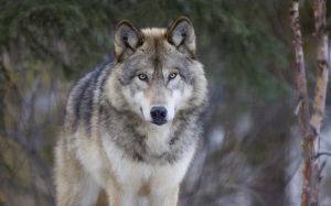 Wolf Dog origin, behavior, and traning