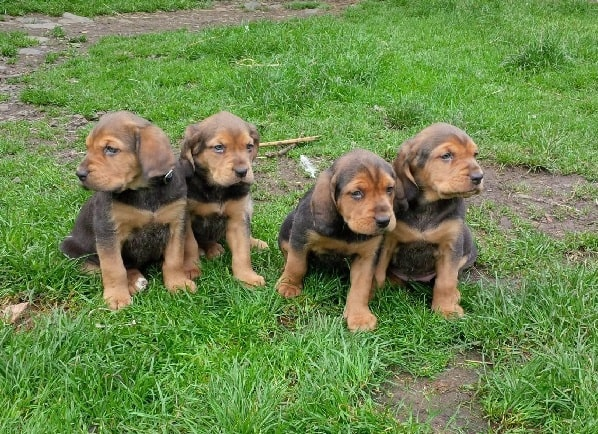 Alpine Dachsbracke Puppies