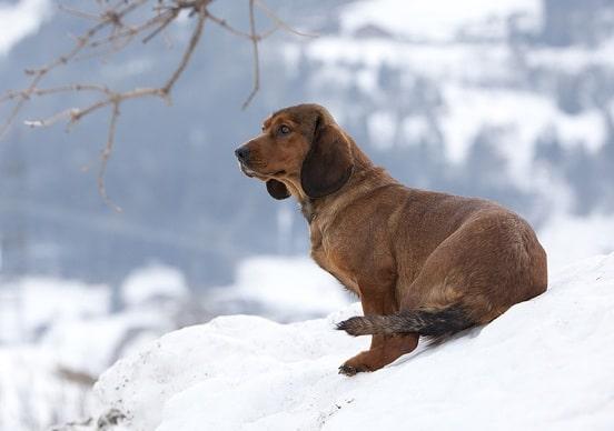 Alpine Dachsbracke sitting on the snow