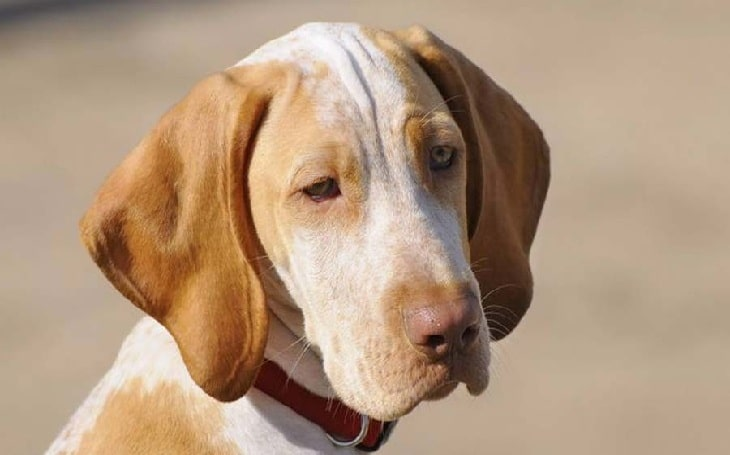 Ariege Pointer Personality and temperament