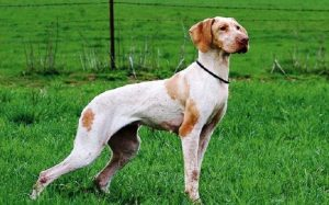 Ariege Pointer history, behavior, and training
