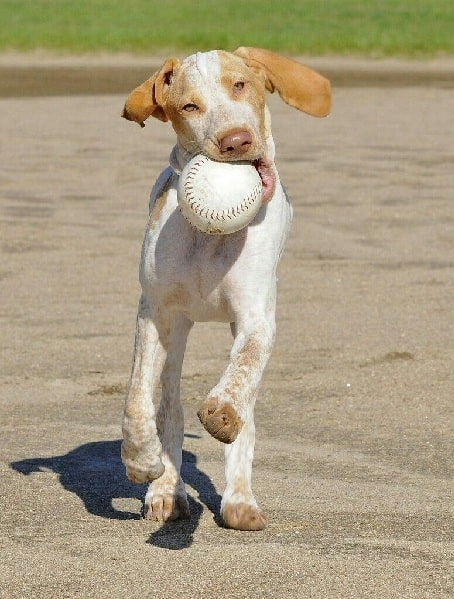 Ariege Pointer playing ball