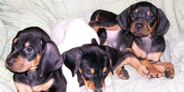 Austrian black and tan hound puppies