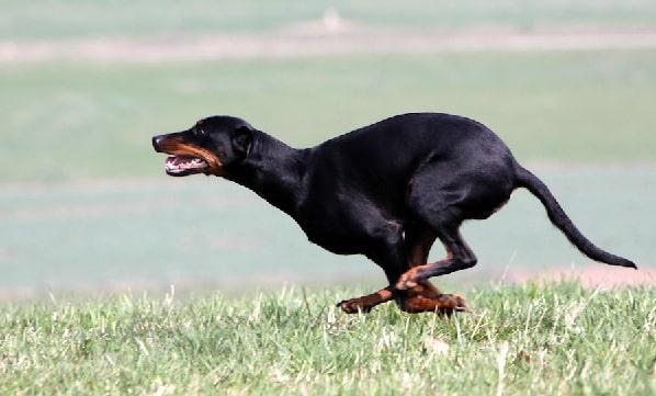 Austrian black and tan hound running