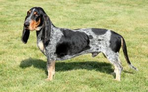 Basset Bleu de Gascogne Behavior and training