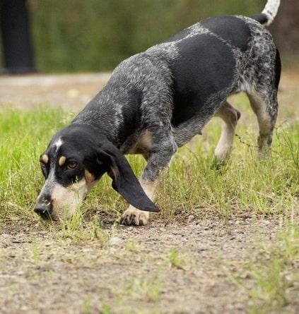 Basset Bleu de Gascogne Sniffing the ground