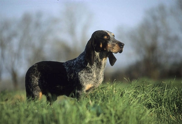 Basset Bleu de Gascogne on the field