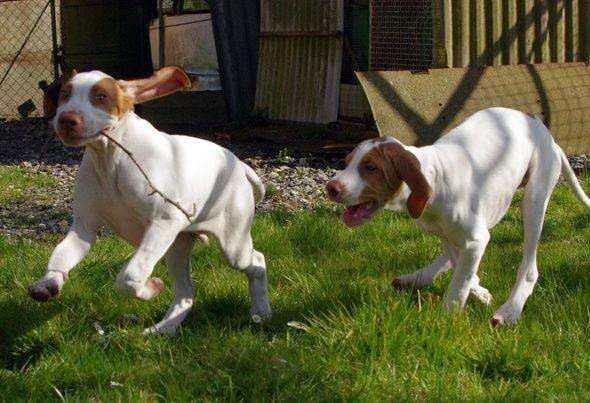 Braque Saint Germain Puppies playing