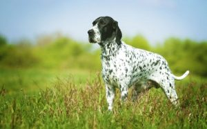 Braque d' Auvergne Pointer History, Behavior, adn training
