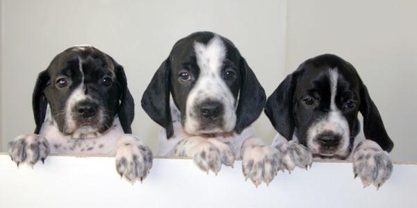 Braque d' Auvergne Pointer Puppies