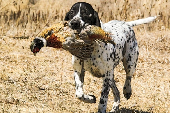 Braque d' Auvergne Pointer Retrieving its prey