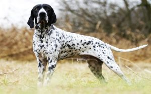 Braque d' Auvergne Pointer temperament and personality